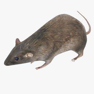 rat mammals animal 3D