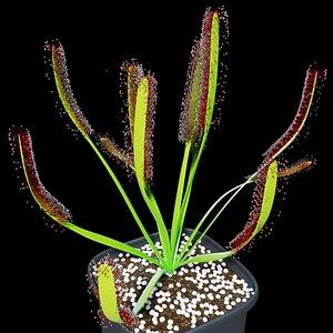 3D plant sundew model