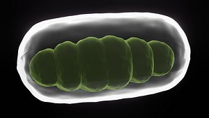 mitochondrion 3D model