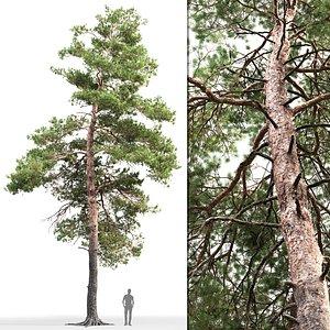 tree sylvestris 14 3D model