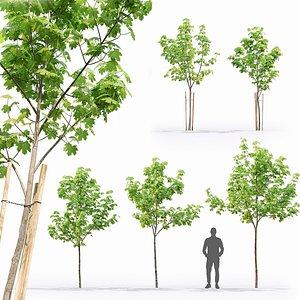 3D model Maple tree 13 3