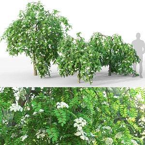 3D Rowan pendula flowering 01