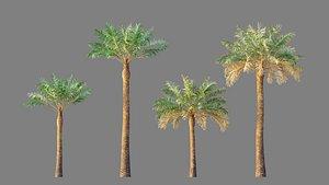 palm phoenix canary 3D model