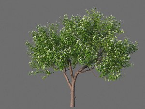 XfrogPlants Keylime - Citrus Aurantifolia 3D model