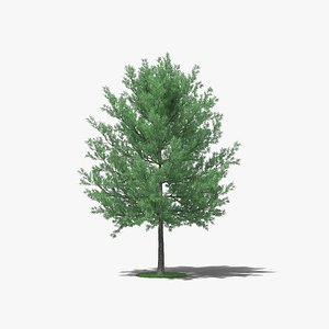 3D Willow Oak model