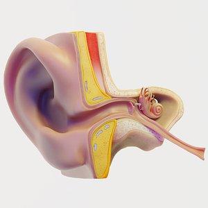 3D ear anatomy section model