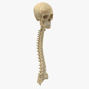 human spine bones skull 3D model