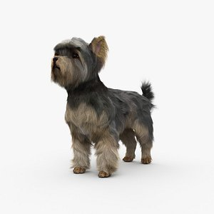3D model Yorkshire Terrier HD