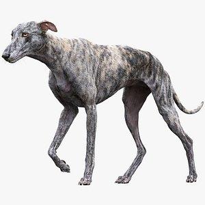 3D greyhound hound fur