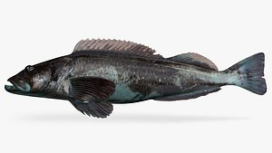 3D lingcod ophiodon