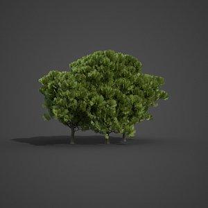 tree nature conifer model