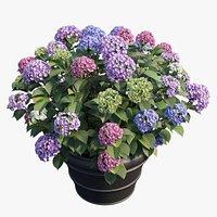 Hydrangea in planters set 03
