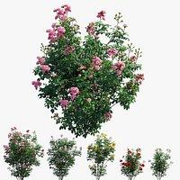 Rose plant set 66