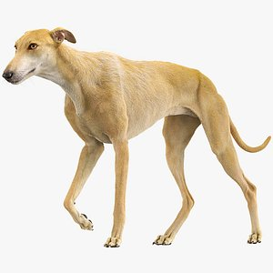 3D spanish greyhound fur animations model