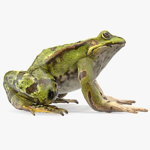 3D model Frog Rigged for Maya