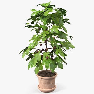 3D potted small fig tree model
