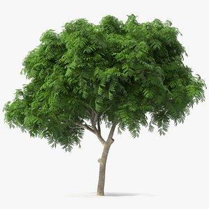 peltophorum pterocarpum tree 3D model