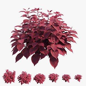 coleus plant model