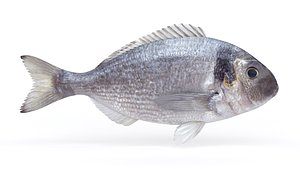 Dorado Fish model