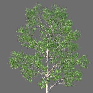 XfrogPlants Carolina Poplar - Populus Canadensis 3D model
