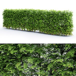 thuja hedge model