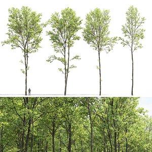 Ash-tree 02 3D