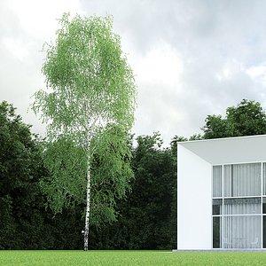 betula pendula birch 17 model