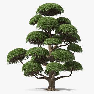 3D Podocarpus Big Tree model