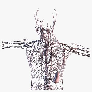 3D Realistic Lymphatic System Human Male Anatomy