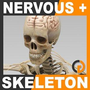 human nervous skeleton skull 3d model