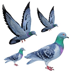 Fully Rigged Standing and Flying Pigeon 3D model