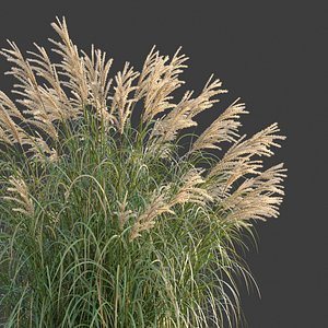 XfrogPlants Chinese Silvergrass - Miscanthus Sinensis 3D model