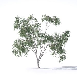 3D eucalyptus pauciflora tree