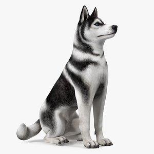Sitting Husky Dog Black and White 3D