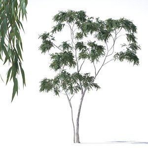 eucalyptus pauciflora tree model