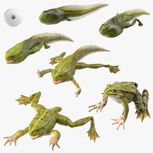 Frog Life Cycle Stages Rigged 3D model