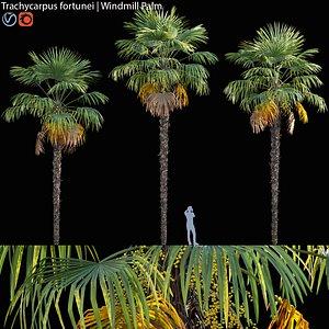 Trachycarpus fortune - palm 01 3D