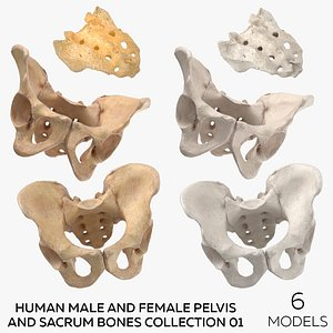 Human Male and Female Pelvis and Sacrum Bones White and Yellow - 6 models 3D model