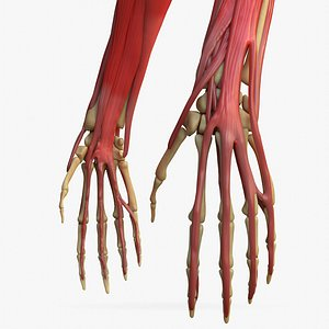 3D hand anatomy arm