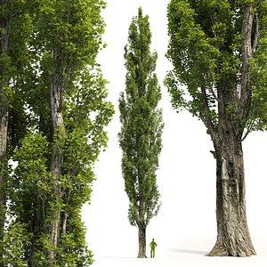 Poplar Populus nigra V4 3D model