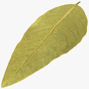 dried bay laurel leaf 3D model