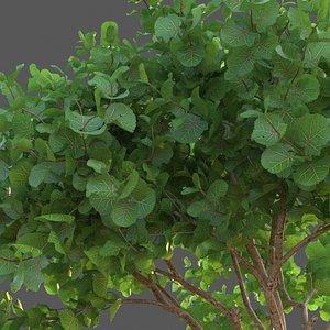 XfrogPlants Seagrape - Coccoloba Uvifera 3D model