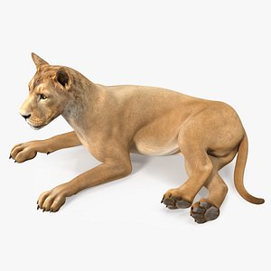 3D Young Lion Lying Pose model