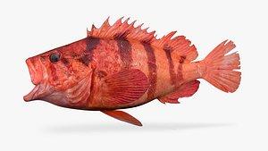 tiger rockfish dark version 3D model