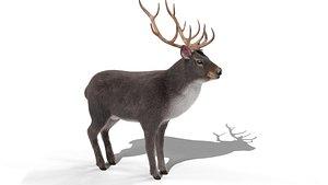 3D model Fur Gray stag Deer NO RIG