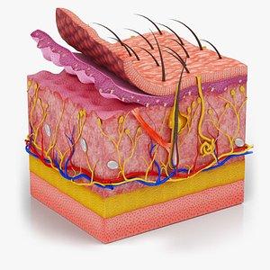 3D Skin Parts Anatomy