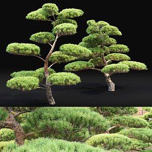pinus bonsai 3D