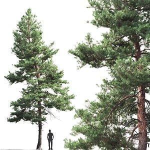 3D pine sylvestris 05 model