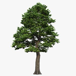 tree maple 3D model