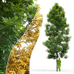ash tree model